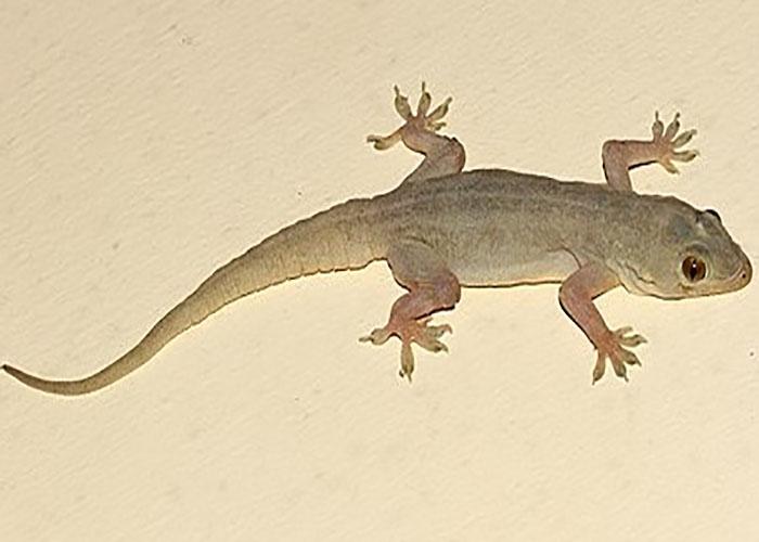 House-Lizards