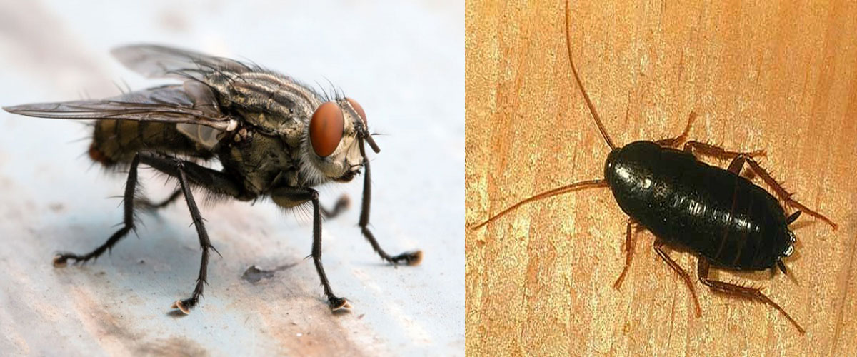 Roaches-and-Flies-control